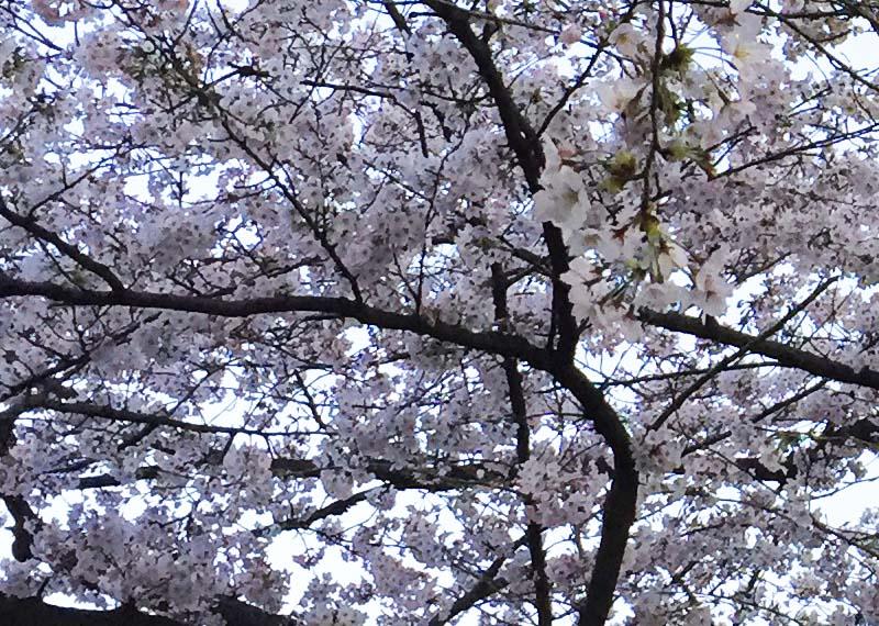 ハイエースと桜
